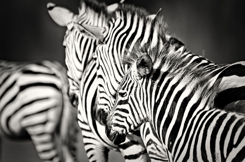 Striped Zebra Animal Animal Themes Animal Wildlife Mammal Animals In The Wild Animal Markings No People Group Of Animals Close-up Two Animals Pattern Focus On Foreground Safari Natural Pattern Vertebrate Outdoors Herbivorous Animal Head