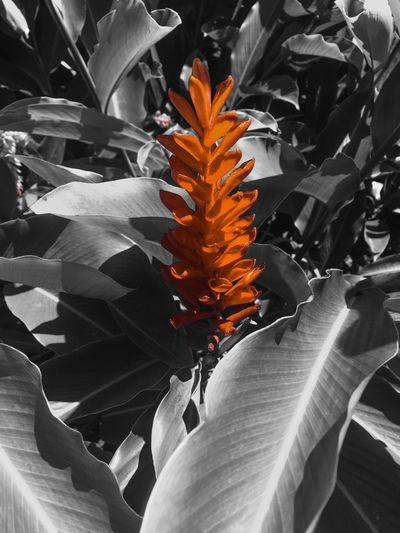 Fleur tropical , gwada ....