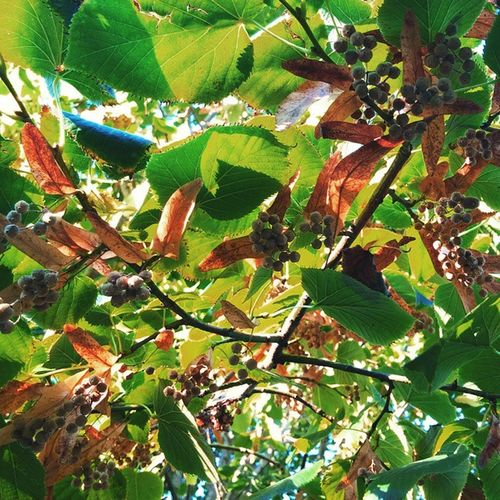 Linden Foliage Leaves Green Seed Garden