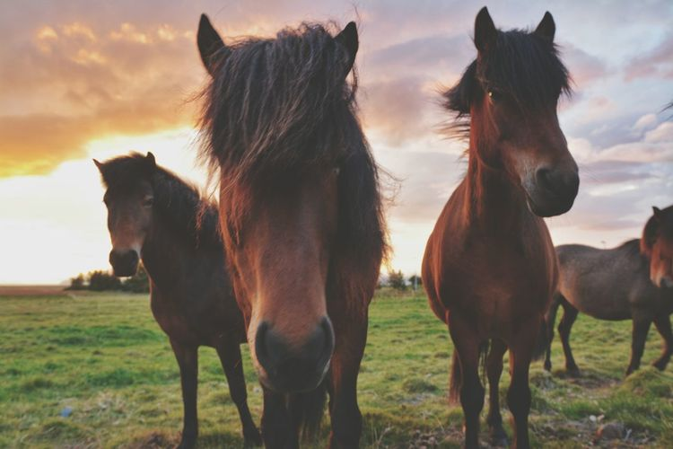 Horse Animal Agriculture Mammal Domestic Animals Livestock Ranch Outdoors Animal Themes Sky Rural Scene Animal Wildlife Nature Sunset Day No People Togetherness Portrait Grass Close-up Horses Ponies Icelandic Horses Iceland Travel