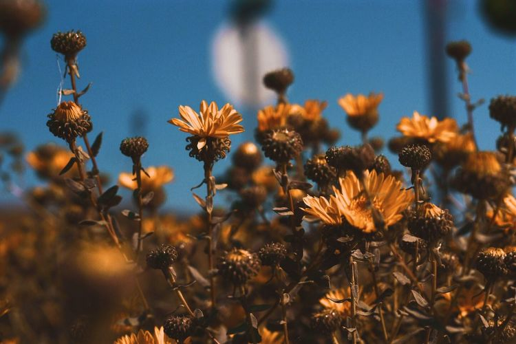 EyeEm Selects Flower Growth Fragility Nature Plant Freshness Beauty In Nature Flower Head No People Petal Outdoors Close-up Blooming Day Sky (null)Growth Fresh On Market 2017