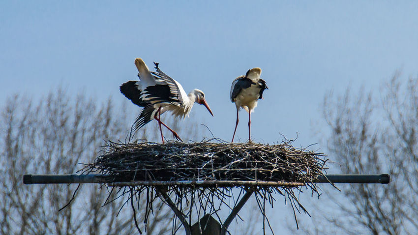 Storks on the nest Animal Themes Animal Wildlife Animals In The Wild Bird Bird Nest Clear Sky Day Nature No People Outdoors Perching Sky Stork Togetherness Twig White Stork Wooden Post