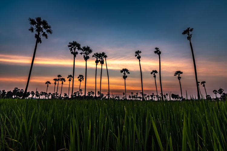 Sunset at Dong Tan, Pathum Thani Sky Sunset Plant Beauty In Nature Tranquility Land Growth Tree Scenics - Nature Cloud - Sky Nature Tranquil Scene Tropical Climate Palm Tree Silhouette No People Field Grass Dusk Outdoors Coconut Palm Tree