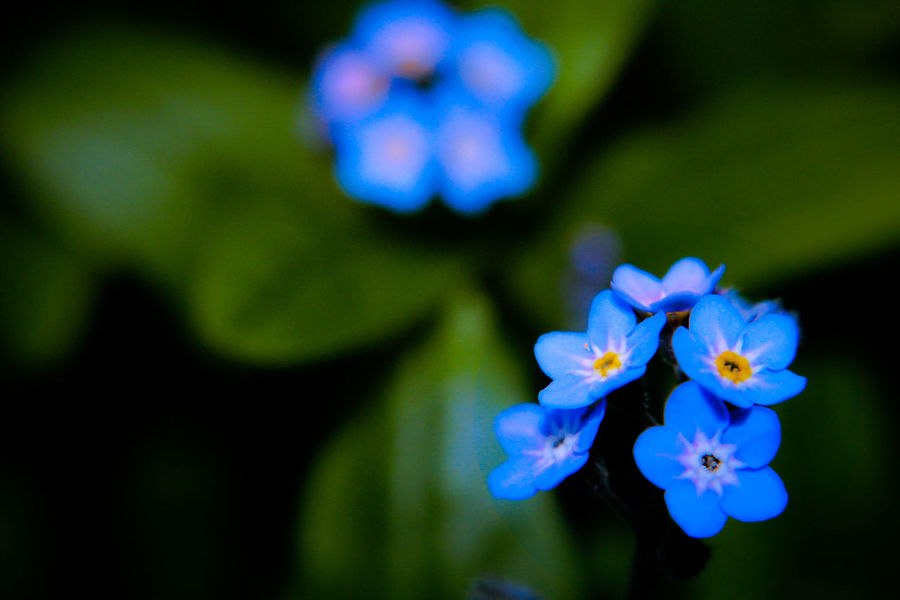 Forget Me Not Forgetmenot Forget Me Nots Flower Flowers Petal Fragility Nature Blue Freshness Close-up Flower Head Beauty In Nature Plant Blooming No People Outdoors Day