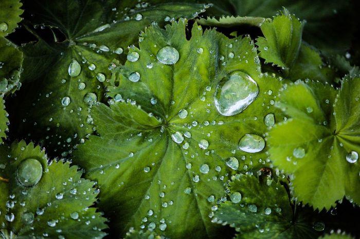 Teardrops Raindrops Waterdrops Plant Hydrophobic