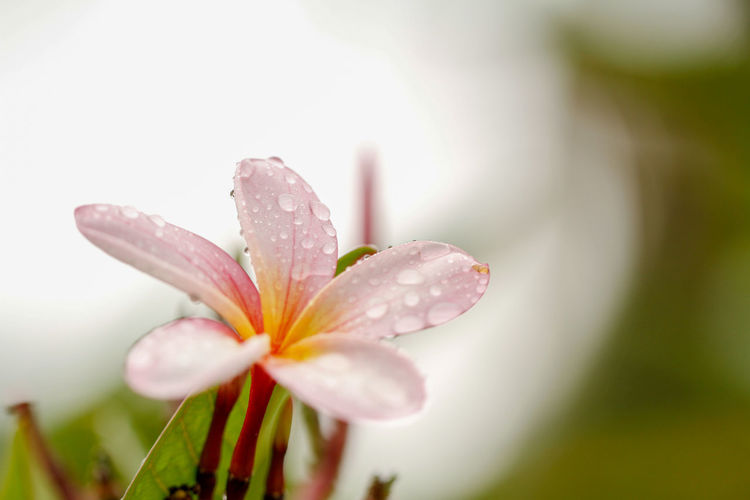 Plumeria / frangipani flowers during the morning filled with dew. Flower Flowering Plant Beauty In Nature Vulnerability  Fragility Plant Drop Freshness Close-up Wet Water Petal Growth Inflorescence Flower Head Nature Selective Focus Pink Color No People Rain Outdoors Dew Springtime Pollen RainDrop