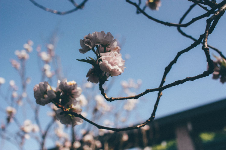 Beauty In Nature Beginnings Blossom Botany Branch Change Cherry Tree Depth Of Field Flower Focus On Background Fragility Growth Japan Leaf Low Angle View Nature New Life No People Outdoors Sakura Selective Focus Springtime Tree Twig
