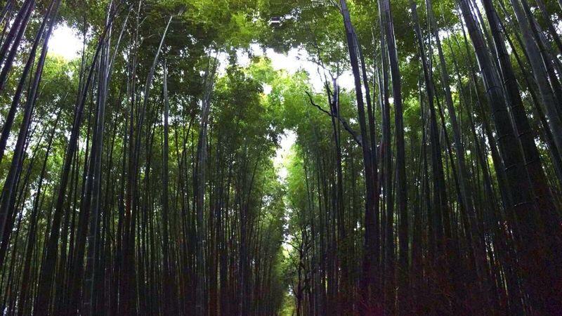 Travel Travelling World Kyoto Japan Arashiyama Bamboo Forest Bamboo Beautiful Beautiful Nature Nature Must Must See Ultimate Japan