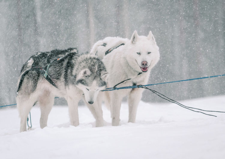 Two huskies posing during snow storm after a sled dog run