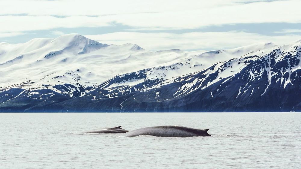 Blue whale with a calf in Husavik Bay, Iceland The Adventure Handbook The Traveler - 2015 EyeEm Awards The Great Outdoors - 2015 EyeEm Awards EyeEm Nature Lover Iceland_collection The Moment - 2015 EyeEm Awards