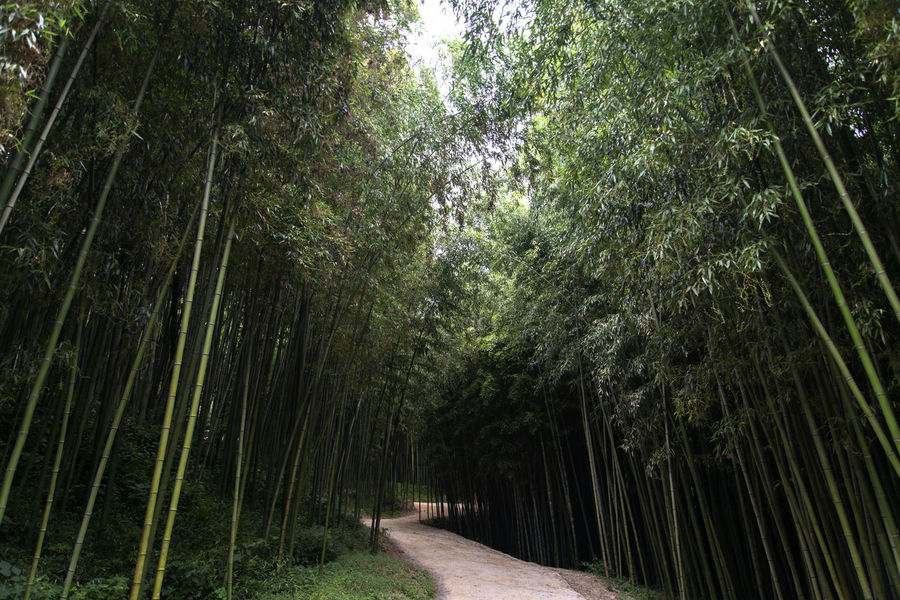 Juknokwon, the famous bamboo park in Damyang, Jeonnam, South Korea Damyang Juknokwon Bamboo - Plant Bamboo Forest Bamboo Grove Bamboo Park Beauty In Nature Day Forest Green Color Growth Nature No People Outdoors Scenics The Way Forward Tranquil Scene Tranquility Tree Tree Trunk