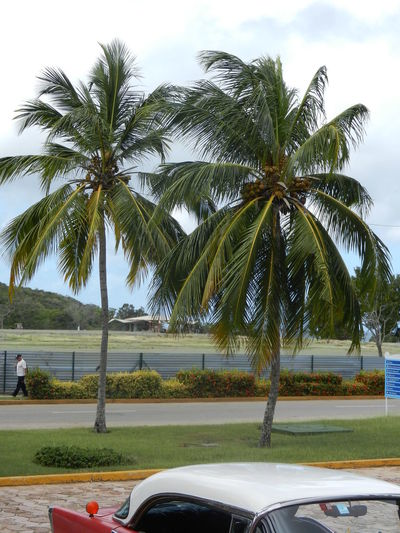 Cuban Lifestyle CUBA! Cuba Collection Palm Tree Tree Vacations Vacances !  Vacances☀️ Travel Destinations Cuba Tourism Tropical Climate Guartalavaka