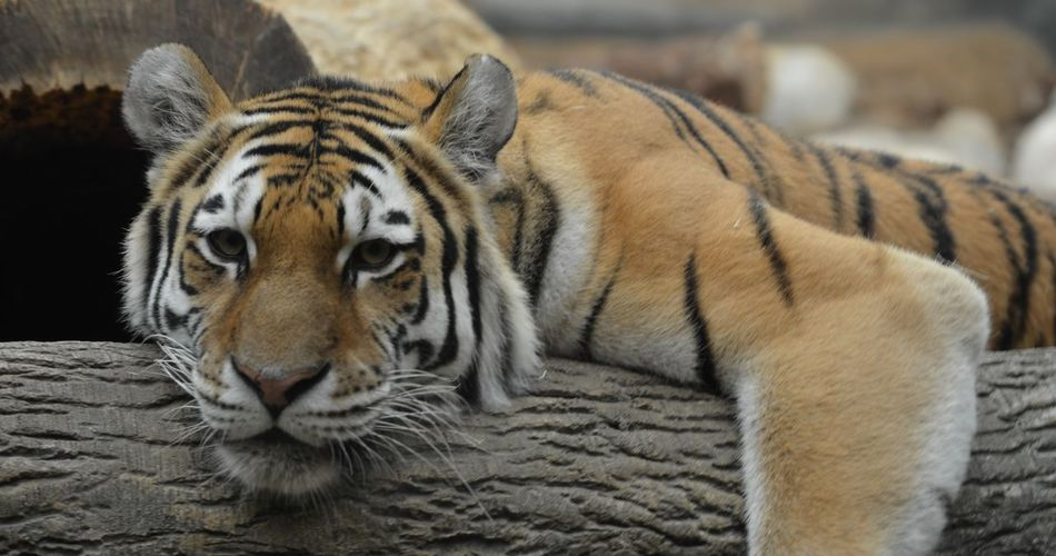 Close-up portrait of a relaxed tiger