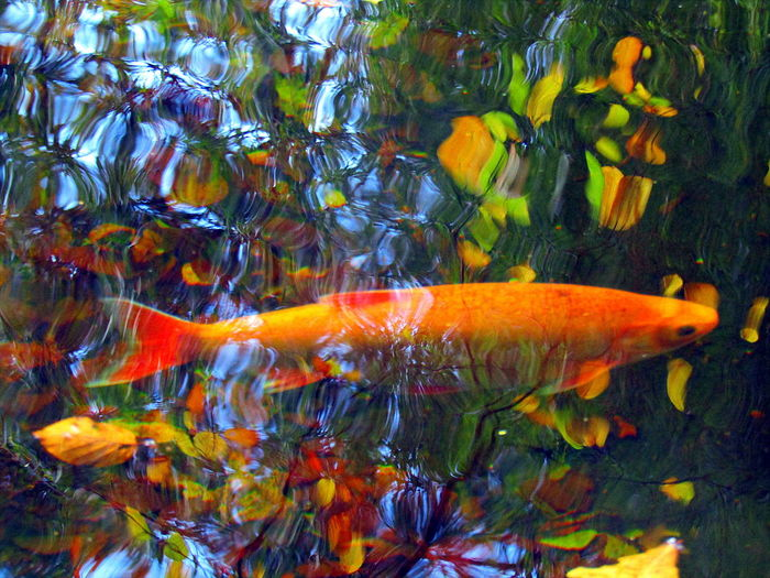Herbststimmung Beauty In Nature Distortion Fish Im Teich--2017--Rostock Orange Color Rippled- Swimming