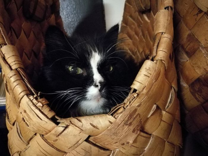 Mirri, a basket cat! Domestic Cat Domestic Animals Pets Mammal Animal Themes One Animal Looking At Camera Feline Indoors  No People Close-up Day Pet Portraits