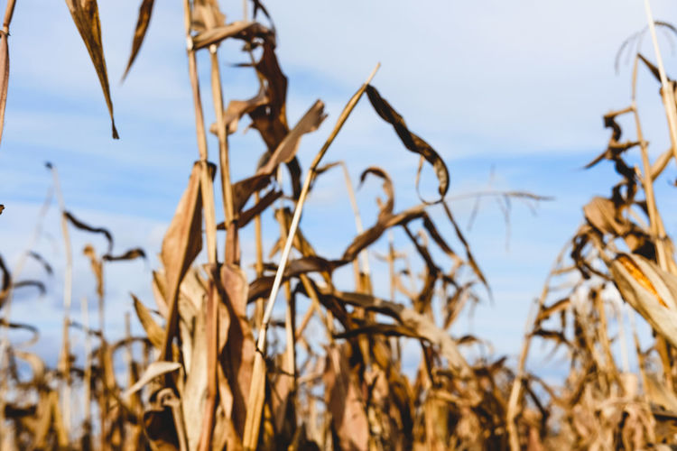 It's a harvest season! Agriculture Autumn Autumn Colors Field Textures And Surfaces Background Photography Backgrounds Bokeh Close-up Corn Corn Field Fall Focus On Foreground Growth Harvest Harvesting No People