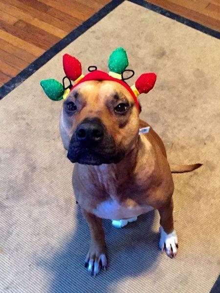 Rufus. Dog. Animal Head  Animal Themes Christmas Around The World Dog Dogs Domestic Animals Looking At Camera One Animal Pets Pitbull Pitbulls Sitting