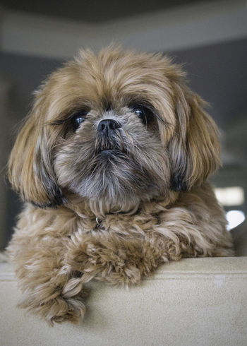 Shih Tzu Love Animal Themes Brown Brown Doggy Dog Dogofeyeem Domestic Animals Eyelashes Indoors  Pets Shih Tzu Shih Tzu Love Sony A6000 Sony Lover