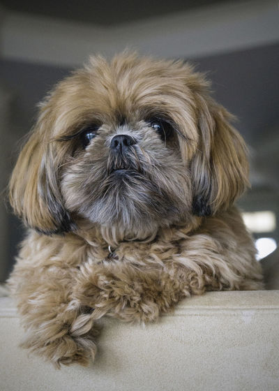 Shih Tzu Love Animal Themes Brown Brown Doggy Dog Dogofeyeem Domestic Animals Eyelashes Indoors  Pets Shih Tzu Shih Tzu Love Sony A6000 Sony Lover