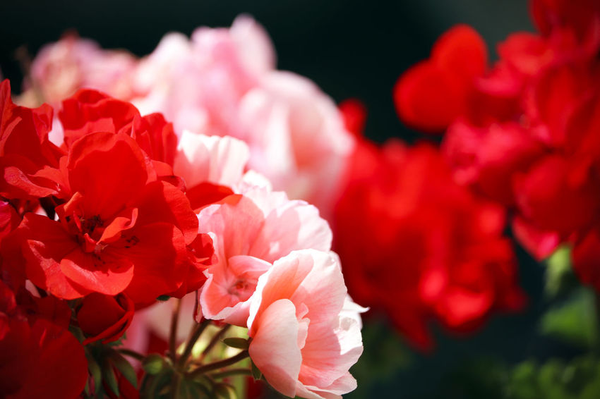 Red garden flowers. Beauty In Nature Bunch Of Flowers Close-up Flower Flower Head Flowering Plant Flowers Fragility Freshness Growth Inflorescence Nature No People Outdoors Petal Pink Color Plant Red Rosé Rose - Flower Selective Focus Softness Springtime Vulnerability