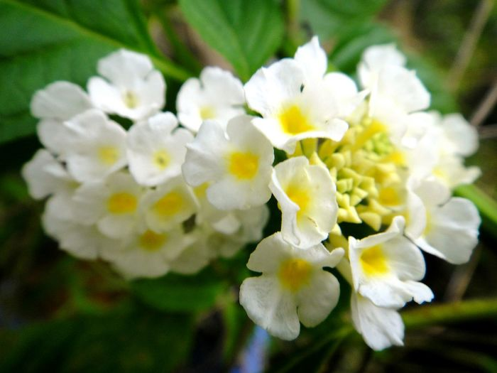 Flower Nature Beauty In Nature Growth Freshness Petal Flower Head Close-up Blooming Plant Fragility Outdoors Day No People White Flowers Group Of Flowers White With Yellow Center