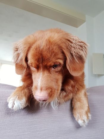 Just Hanging Out Dog Pets Animal One Animal Domestic Animals Puppy Indoors  Mammal Cute Animal Themes Young Animal Portrait Nova Scotia Duck Tolling Retriever No People Day Close-up