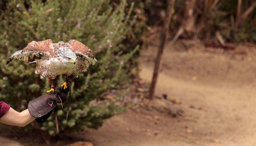 Close-up of ferruginous hawk perching on hand