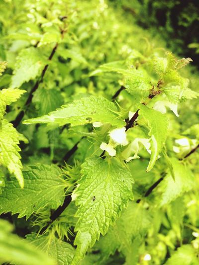 Some white dead-nettles (Lamium album) White Flowers Red Stems White Flower Red Stem Lamium Album Dead-nettles Green Color Plant Growth Leaf Beauty In Nature Close-up Nature