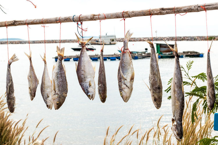 Close-up of fishes hanging on stick against sea