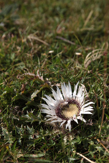 Close-up of white daisy flower on grassy field