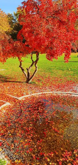Red maple tree on field during autumn