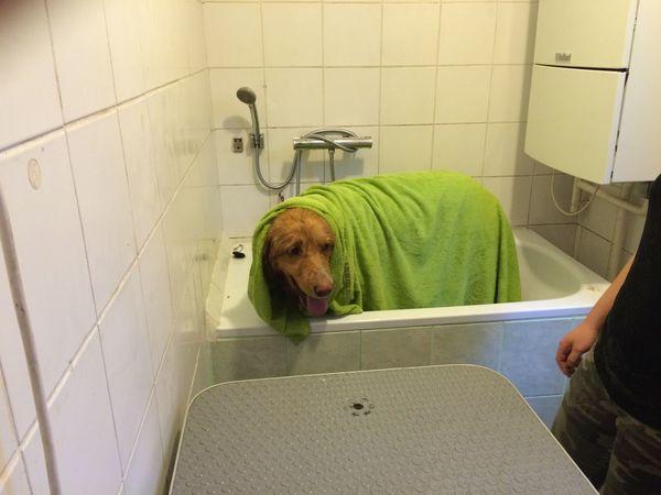 Bathroom Dog Hovawart Pets Wet