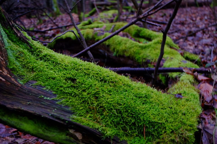 intense green in the forest Green Coloursofwinter Bigtrees Grunewald Berlin Photography Perspective Fujifilm Shades Of Winter Nature Growth Moss Outdoors Beauty In Nature No People Green Color Landscape Tree Tree Area Grass Plant Day