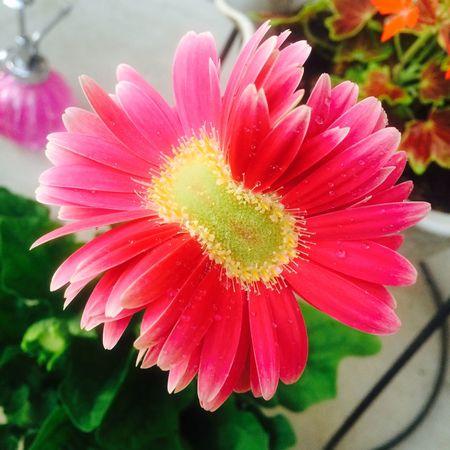 双子花化(*-ェ-(-ェ-*)oぎゅっ♪ Asteraceae Gerbera Flower Freshness Petal Fragility Beauty In Nature Flower Head Nature
