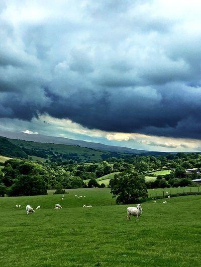 Sheep Sheep🐑 Wales Landscape Animals Farm