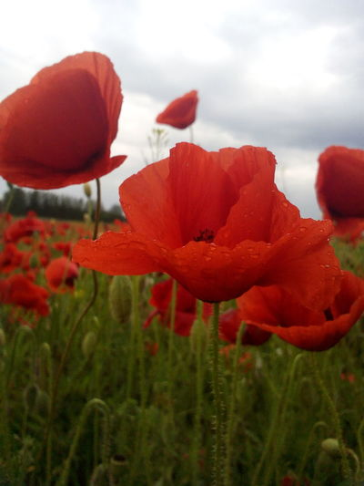 Beauty In Nature Blooming Blossom Botany Close-up Flower Flower Head Fragility Freshness Growth Nature New Life Petal Piros Piros Virág Poppy Poppy Flowers Red Red Flower Spring Spring Flowers Springtime