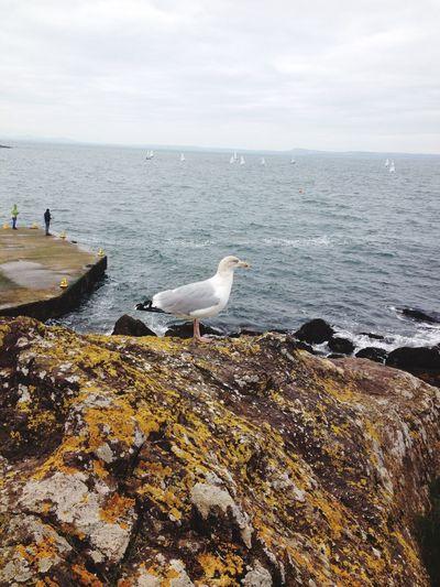 Seagull Taking
