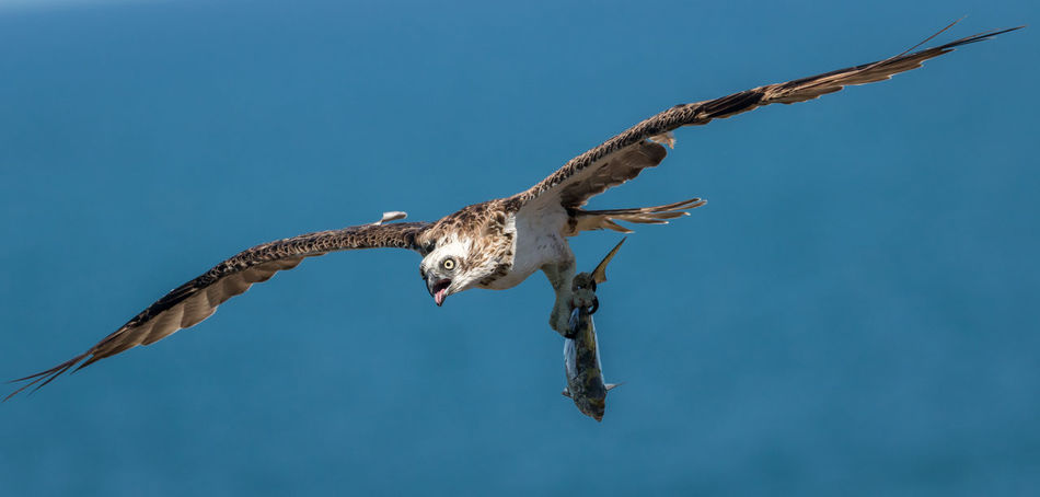 Been Fishing Animal Themes Animal Wildlife Animals In The Wild Bald Eagle Bird Bird Of Prey Birdofprey Birds Clear Sky Close-up Day Eagle Fish Flying Hawk Hunting Mid-air Motion No People One Animal Osprey  Outdoors Spread Wings Wings