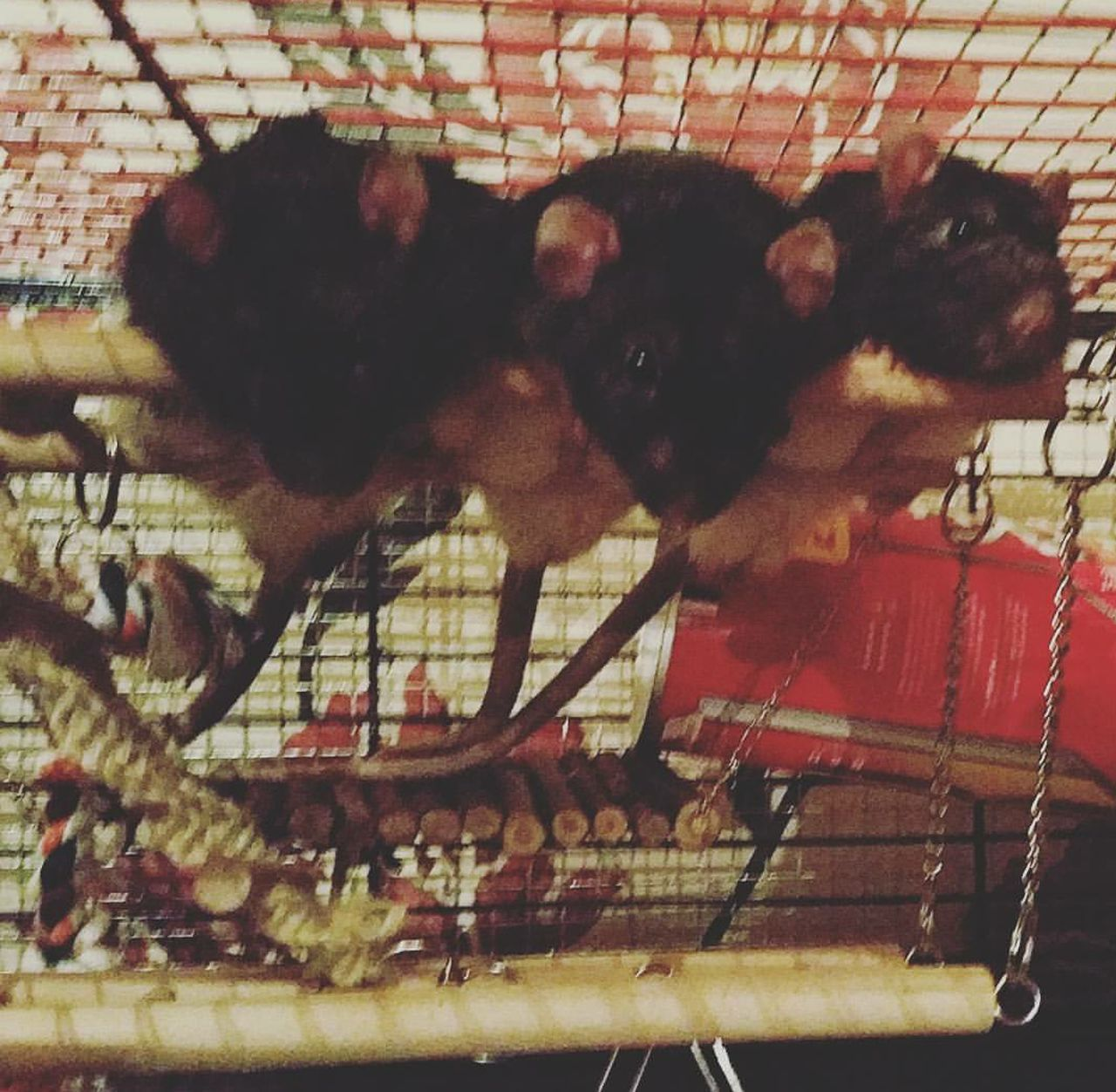animal themes, domestic animals, cage, mammal, pets, no people, indoors, livestock, day, nature, close-up