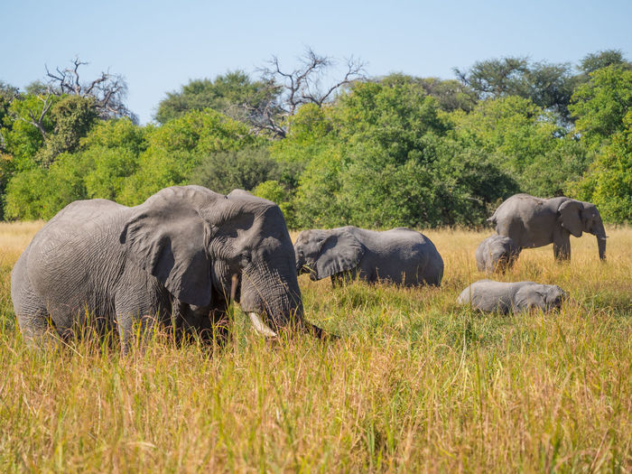 African elephant family grazing in high grass, moremi game reserver, botswana