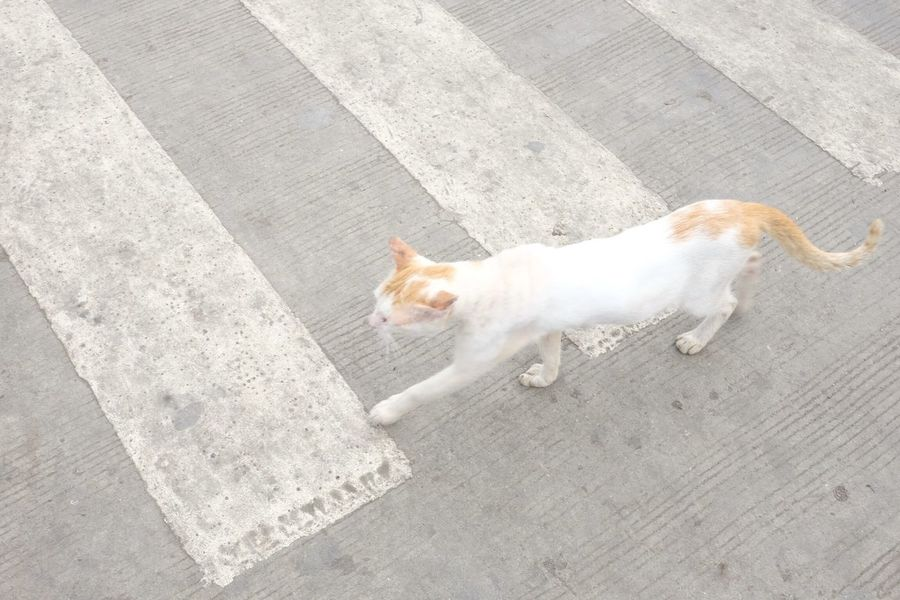 Pets Domestic Animals High Angle View No People Street Streetphotography Street Photography Streetphoto Photography Check This Out EyeEm Best Shots Fujifilm Fuji Feline Mirrorless Eye Em Philippines Pedestrian Walkway Unusual Animal Themes One Animal Domestic Cat Outdoors Day