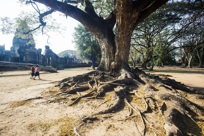Pimai Korat Root Of A Tree Tree Tree Trunk Historic Historic Park Nature Outdoors Thailand Travel Tree Tree Trunk