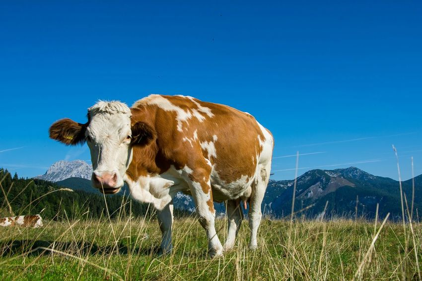 Funny cow Animals Pure Farming Hike Travel Adventure FUNNY ANIMALS Amazing View Captured Moment EyeEm Best Shots