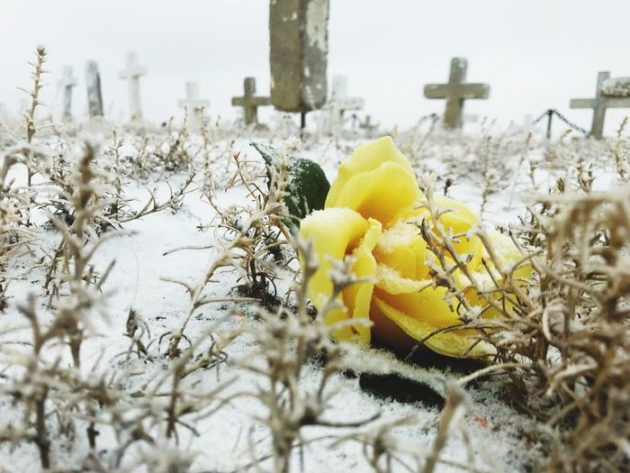 Beauty is everywhere. Colorado Cross Crosses Cemetery Photography Cemetery Rose - Flower Yellow Rose Snow Winter Cold Temperature Flower Nature Plant Weather Close-up Day No People Outdoors Yellow Beauty In Nature Fragility Flower Head Freshness