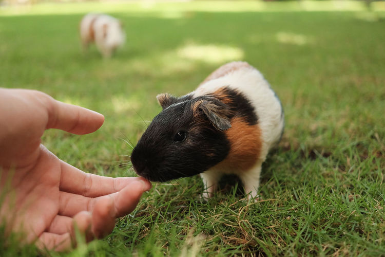 A guinea pig smell a hand in nature with blurred background in bali