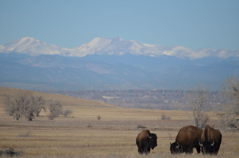 Rocky Mountain Arsenal National Wildlife Refuge American Bison Animal Themes Animal Wildlife Animals In The Wild Arid Climate Beauty In Nature Day Field Grass Grazing Landscape Mammal Mountain Mountain Range Nature No People Outdoors Rocky Mountains Scenics Sky Shades Of Winter