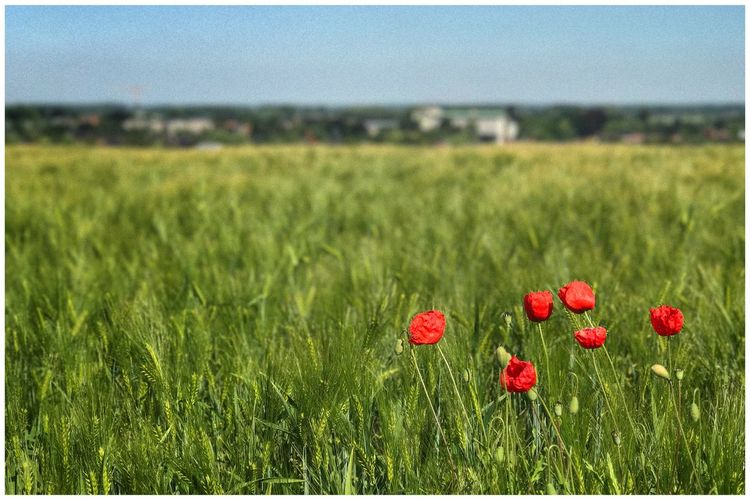 Live For The Story Field Grass Growth Red Nature Poppy Green Color Beauty In Nature Flower No People Tranquility Plant Outdoors Landscape Meadow Kris Demey Photography Beauty In Nature Beauty In Ordinary Things Outdoor Photography Field