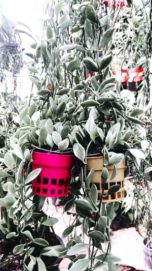 Color splash Plant Flower Pot Growth Large Group Of Objects Nature Beauty In Nature Green Color Potrait Art Malaysia Padangbesar Colorful Perlis Malaysia