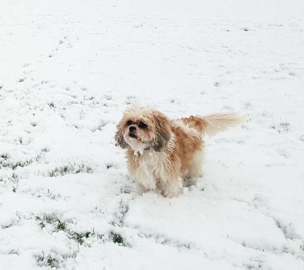 Winter Canine Dog Cold Temperature Pets White Color No People Snow Snowing Shichon Cavatzu