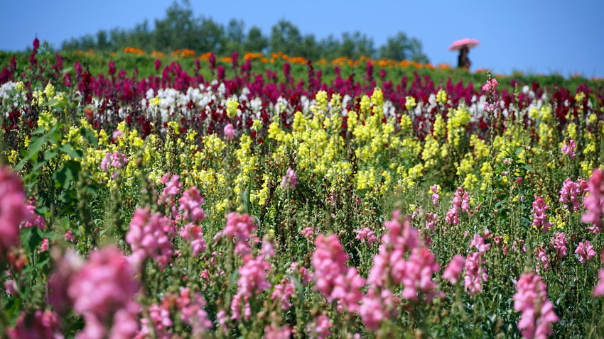Enjoying The View Farmland Shikisainooka Walking Through Field Beauty In Nature Blossom Colorful Field Flower Flowerbed Flowering Plant Landscape Pink Flowers Plant Rows Of Flowers Scenics - Nature Umbrella Yellow Flowers